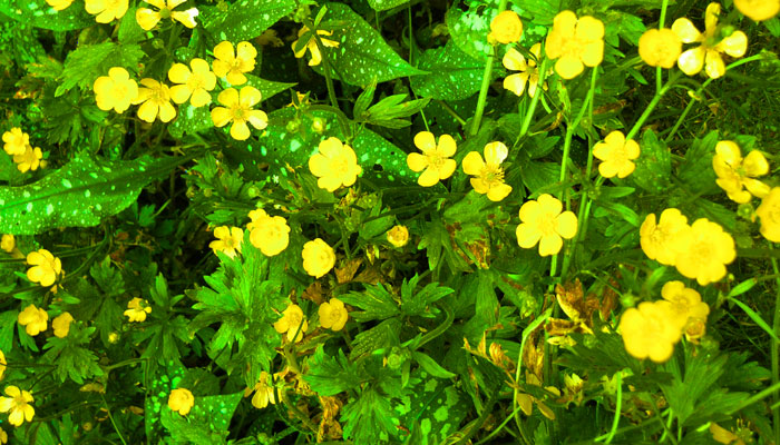 Overexposed image of buttercup flowers amongst leafy grass| All rights reserved by the image creator: Maarten Idema. Copyright 2006.